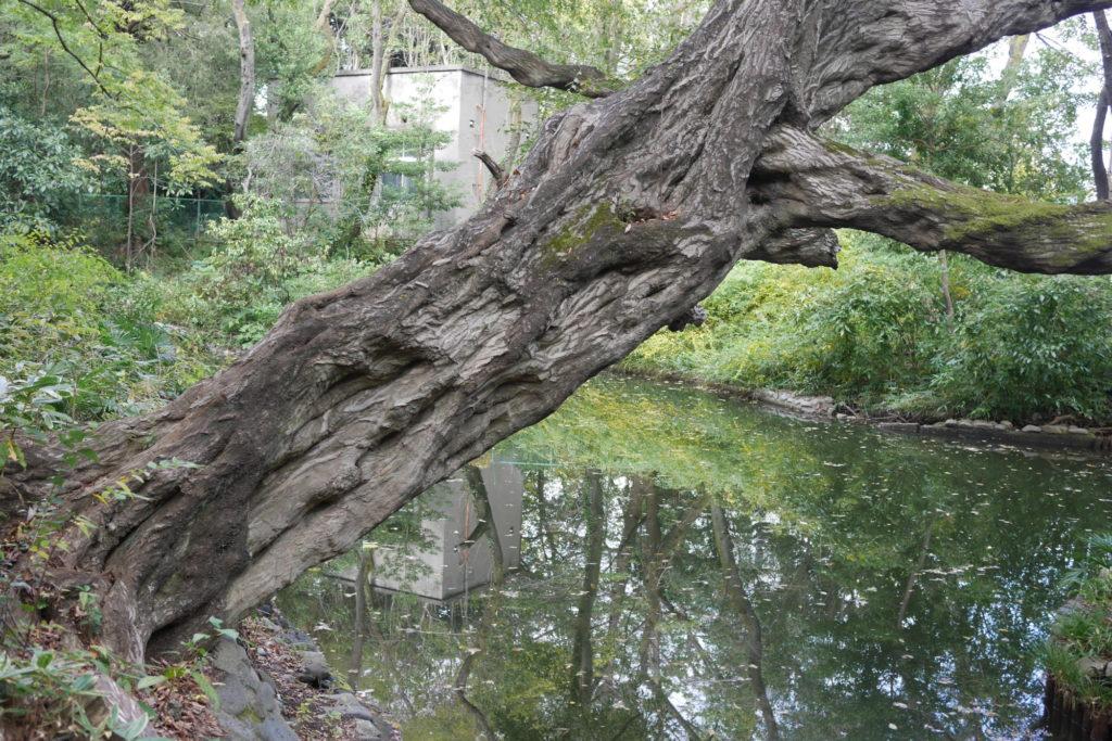占春園の古木